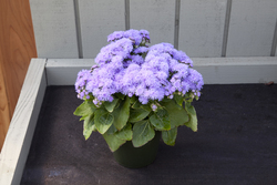 Ageratum Cloud Nine Blue