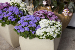 Ageratum Cloud Nine Mixed