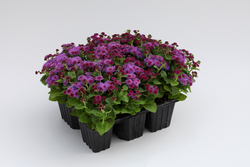 Ageratum Cloud Nine Pink