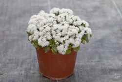 Ageratum Cloud Nine White