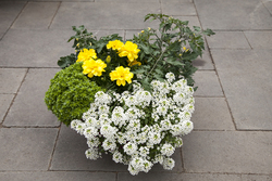 Alyssum North Face Mixed Container