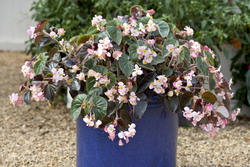 Begonia Ikon and Ikon Bronze RMP