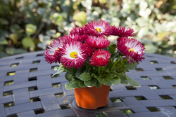 Bellis BamBam Red