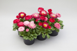Bellis BamBam Red and Rose