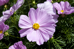 Cosmos Apollo Pink