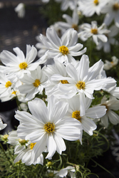 Cosmos Apollo White