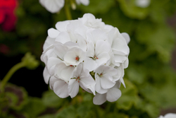 Geranium Inspire White Improved