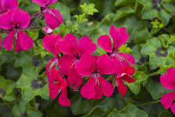 Geranium Reach Out Hot Pink