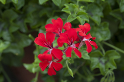 Geranium Reach Out Red