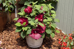 Hibiscus Honeymoon Deep Red
