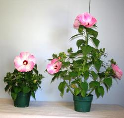 Hibiscus Honeymoon Growth