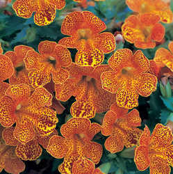 Mimulus Magic Yellow Flame