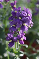 Nemesia Seventh Heaven Blue 1310