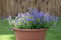 Nemesia Seventh Heaven Blue 1407