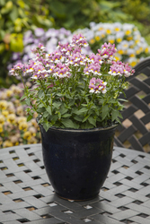 Nemesia Seventh Heaven Lavender