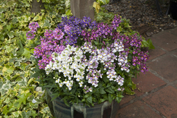 Nemesia Seventh Heaven Mixed 1505