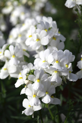 Nemesia Seventh Heaven White 1310