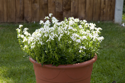 Nemesia Seventh Heaven White 1407