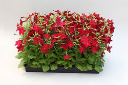 Nicotiana Avalon Red