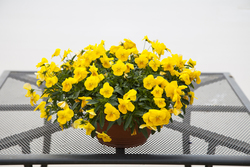 Pansy Freefall XL Golden Yellow