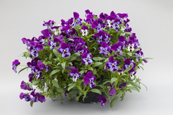 Pansy Freefall XL Purple Face