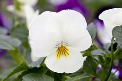 Pansy Freefall Cream