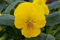 Pansy Freefall Golden Yellow
