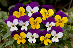 Pansy Freefall Little Faces Mixed