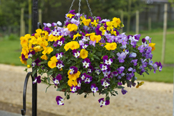 Pansy Freefall Mixed