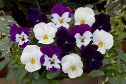Pansy Freefall Moonlight Mixed