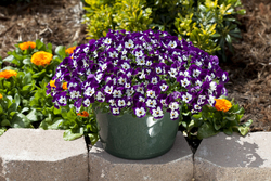 Pansy Freefall Purple & White
