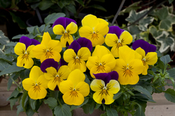 Pansy Freefall Purple Wing, Golden Yellow