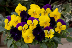 Pansy Freefall Regal Mixed