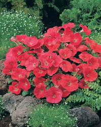 Petunia Rapide Red