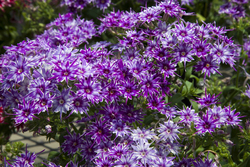 Phlox Popstars Blue