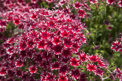 Phlox Popstars Red