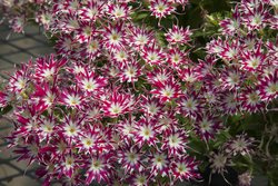 Phlox Popstars Rose with Eye