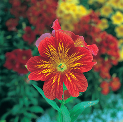 Salpiglossis Royale Red Bicolour