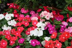 Vinca Cobra Mixed