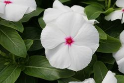 Vinca Cobra Peppermint