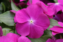 Vinca Cobra Purple Eye