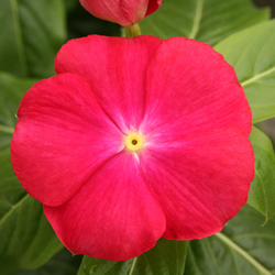 Vinca Cobra Red with Eye