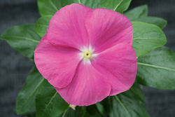 Vinca Cobra Rose Eye