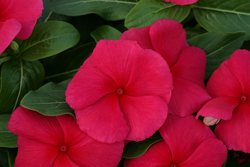 Vinca Cobra True Red